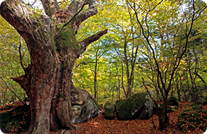 A primeval forest in Mt.Kurodake