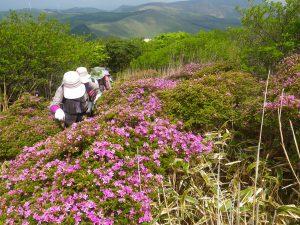 5月23日 猟師岳ミヤマキリシマの様子
