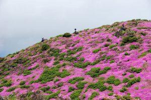 平治岳山頂ミヤマキリシマ