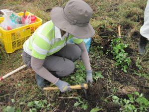 オオハンゴンソウの根を丁寧に掘り出している様子